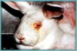 Kaninchen mit entzündeten Augen