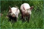 Schweine01
