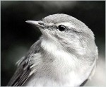 Vogelmord