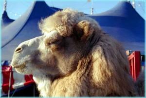 Kamel im Zirkus
