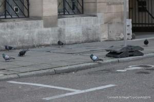 Stadttauben auf Gehweg weil der Taubenschlag entfernt wurde
