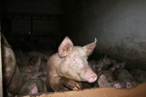 Ein neugieriges Schwein in der Massentierhaltung