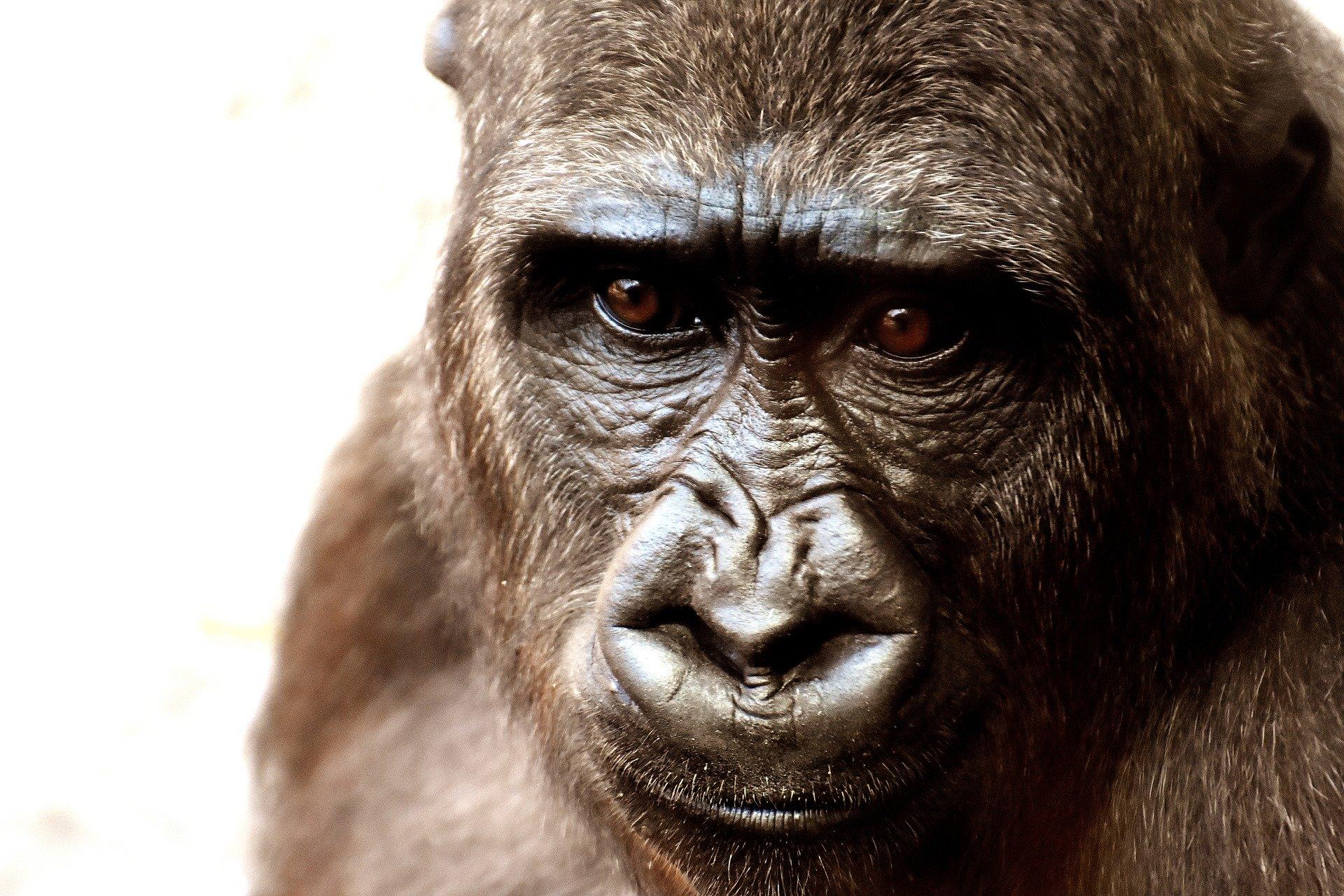 Gorilla Erschossen